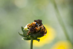 Ladybird, ladybug. Ladybug on a bud of an unblown flower Royalty Free Stock Images