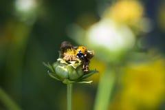 Ladybird, ladybug. Ladybug on a bud of an unblown flower Stock Images