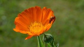 ladybird ladybug on calendula marigold medical flower stock video footage