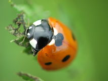 Ladybird, Ladybug, Coccinella Septempunctata. A ladybird in a leaf Stock Photo