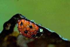 Ladybird, Ladybug, Coccinella Septempunctata. Covered with morning dew in macro Royalty Free Stock Photos