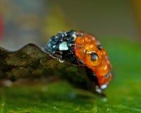 Ladybird, Ladybug, Coccinella Septempunctata. Covered with morning dew in macro Stock Image