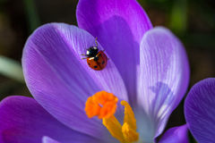 Ladybird. Ladybug on the crocus. Macro photography of nature Stock Image