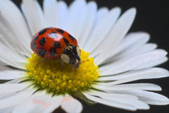 Ladybird or ladybug on a daisy Royalty Free Stock Photo