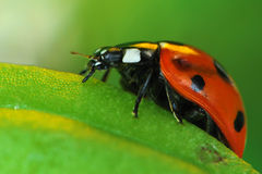 Ladybird or Ladybug on Green Leaf. Closeup of Ladybug on Green Leaf Royalty Free Stock Photos