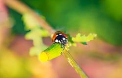 Ladybird - ladybug with heart-shaped eyes royalty free stock image