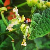 A ladybird / ladybug Stock Images
