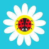 Ladybird Ladybug insect sitting on white daisy chamomile. Camomile icon. Cute growing flower plant collection. Cartoon character. Love card. Flat design. Blue Royalty Free Stock Image