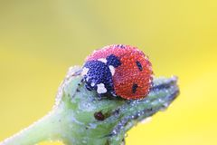 Ladybird, ladybug. And morning dew Royalty Free Stock Image