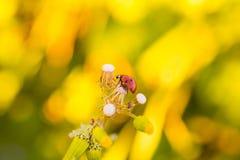 Ladybird - ladybug over a yellow background stock photos