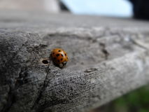 Ladybird. Ladybug sitting on an old wooden bench Stock Images