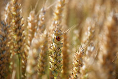 Ladybird or ladybug on a stalk of wheat Stock Photos