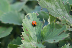 Ladybug. Ladybird, ladybug on strawberry leaves Royalty Free Stock Image