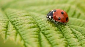 Ladybird/ladybug Stock Image