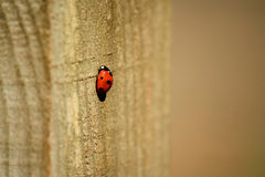 Ladybird ladybug on wooden post. Stationary ladybird insect on wooden post royalty free stock image