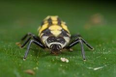 Ladybird larva Royalty Free Stock Images