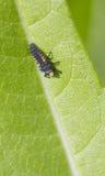 Ladybird Larvae Royalty Free Stock Photos