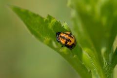 Ladybird larvae Stock Photos
