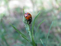 Ladybird  (Lat. Coccinellidae) on a stalk of grass hunting on pl Royalty Free Stock Photos