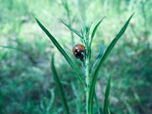 Ladybird  (Lat. Coccinellidae) on a stalk of grass hunting on pl Stock Photo
