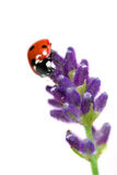 Ladybird on lavender Stock Photos