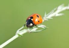 Ladybird on leaf Royalty Free Stock Photo