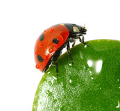 Ladybird on leaf royalty free stock images