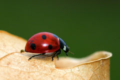 Ladybird on a leaf. Ladybird on the edge of a leaf, nicely blurred green backgroud Royalty Free Stock Photo