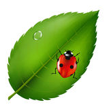 Ladybird On Leaf Stock Images