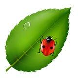 Ladybird On Leaf royalty free illustration