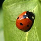 Ladybird on a leaf. A macro shot of a ladybird(bug) on a leaf stock images