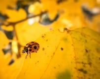 Ladybird Royalty Free Stock Photography