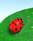 Ladybird and leaf covered with dew Royalty Free Stock Photo