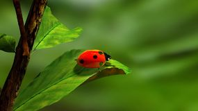 Ladybird, Leaf, Green, White, Red Royalty Free Stock Photos