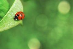 Ladybird on leaf Royalty Free Stock Photography