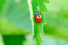 Ladybird on the leaf of nettle - closeup. Ladybird sits on a nettle leaf. Isolated on a green background stock image