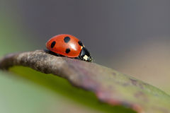 Ladybird on a leaf Royalty Free Stock Photos
