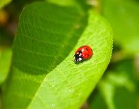 ladybird liści, Zdjęcia Royalty Free