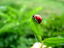 ladybird liści, Fotografia Stock