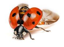 Ladybird lub biedronka zdjęcie royalty free