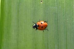 Ladybird macro detail Stock Photography