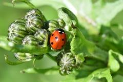Ladybird macro detail Stock Images
