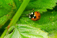 Ladybird makro- Fotografia Stock