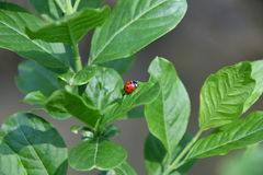 Ladybird makro- szczegół Zdjęcie Stock