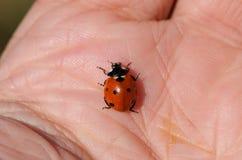 Ladybird on male large palm macro Royalty Free Stock Image