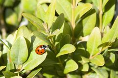 Ladybird in the maze Royalty Free Stock Image
