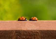 Ladybird meeting Royalty Free Stock Photography