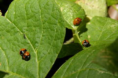 Ladybird miłość Obrazy Royalty Free