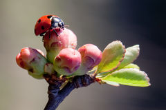 Ladybird morning stock image