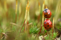 Ladybird on moss Royalty Free Stock Photo